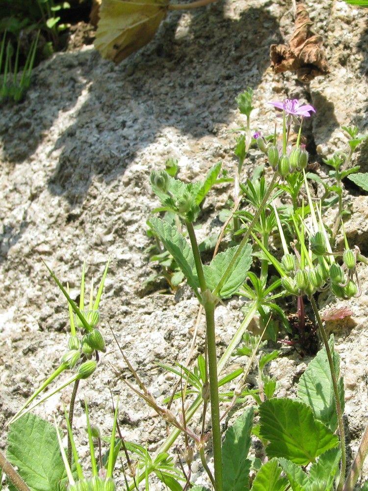 Plantes de balogna en corse for Fausse plante verte