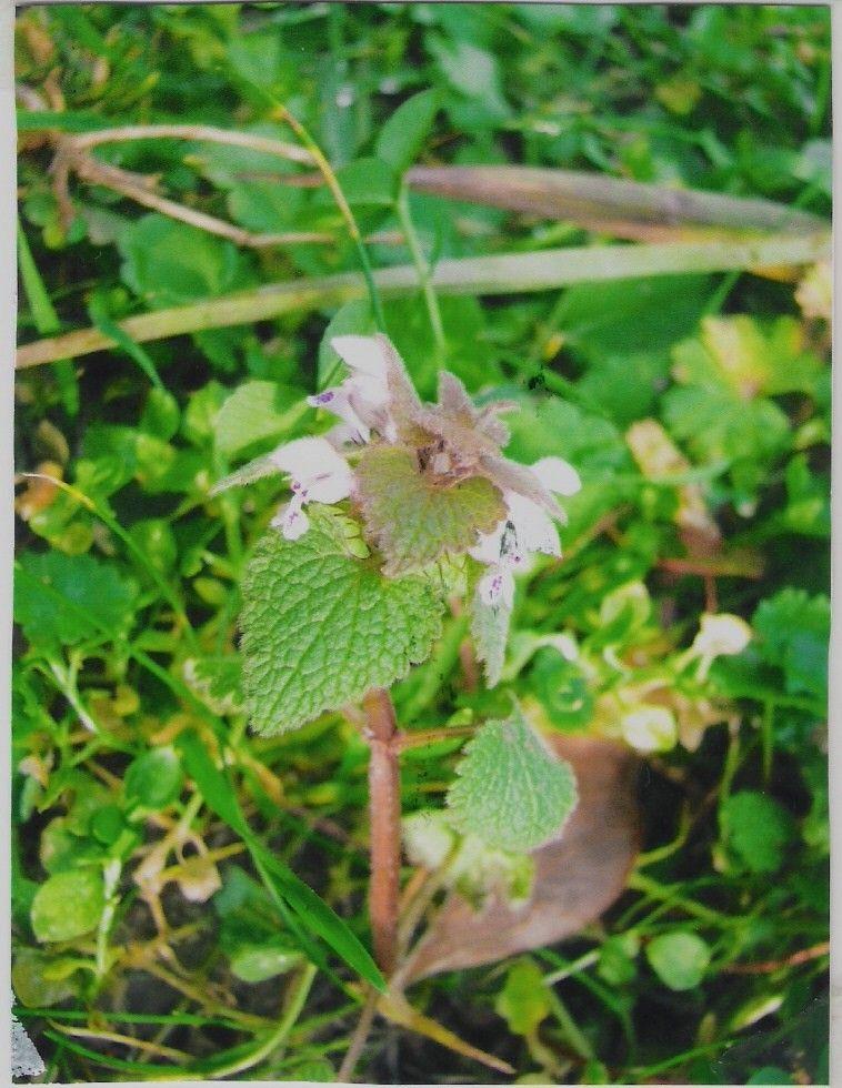Plantes des bords des chemins de janvier avril for Plante 8 feuilles