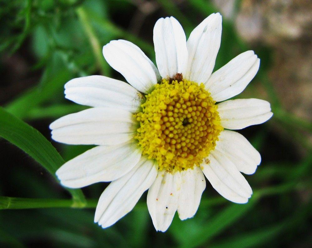 4 LAubépine à style unique \u003d u Prunalbellu ( Crataegus monogyna ; Rosaceae ) est visible dans le haut du chemin menant à lArestu. Cest un arbrisseau très