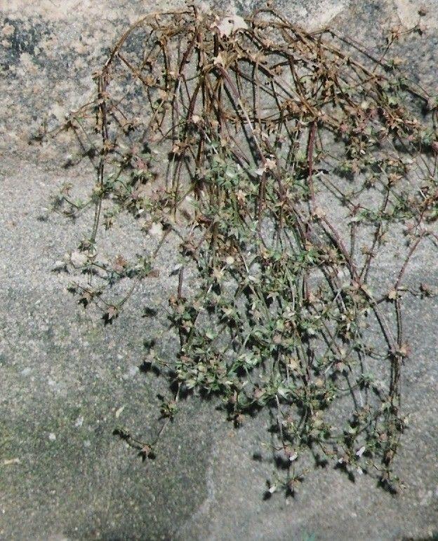 Plantes De Balogna En Corse Mois De Mai