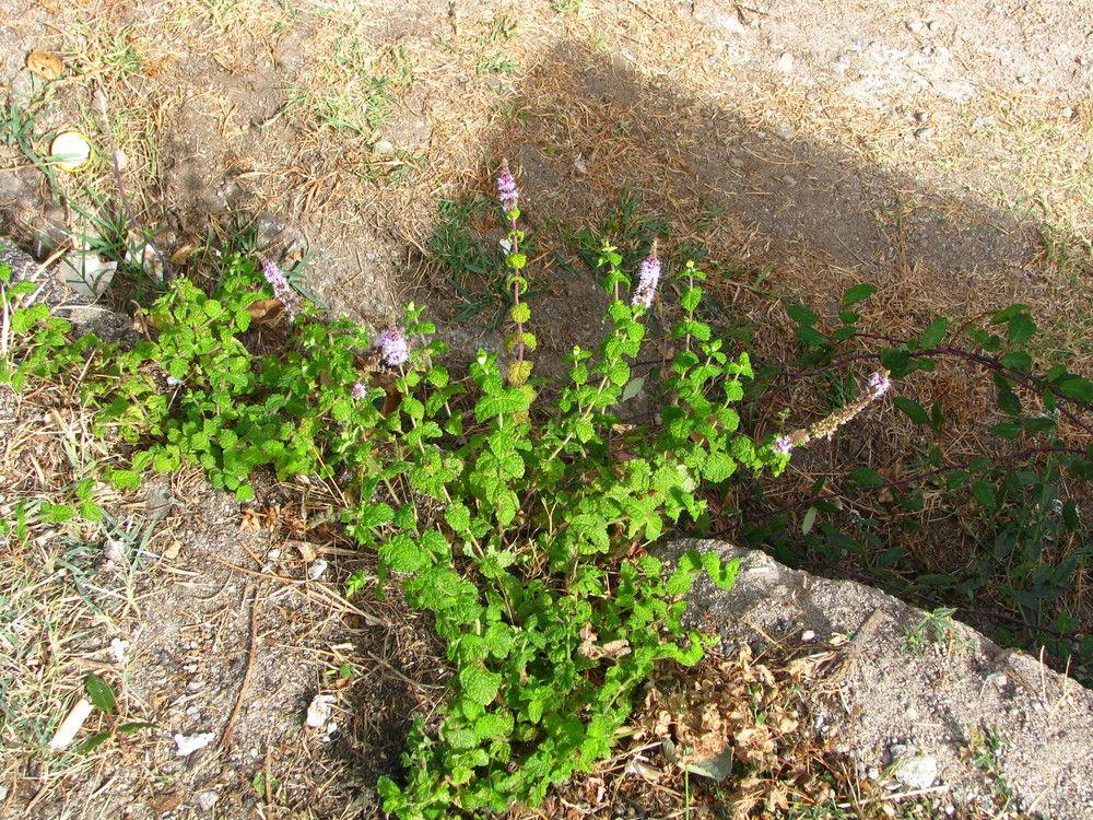 Plantes de balogna en corse plantes consommables for Plante 9 feuilles