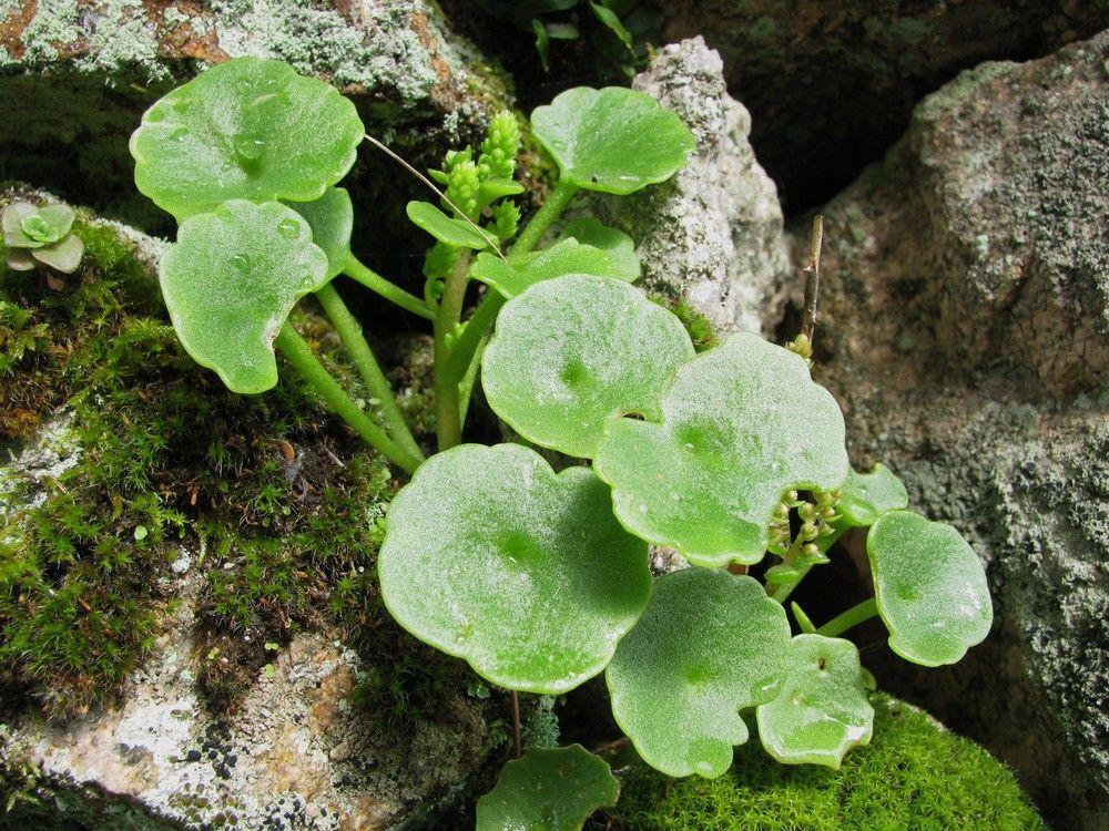 Plantes de balogna en corse plantes consommables for Plante 7 feuilles
