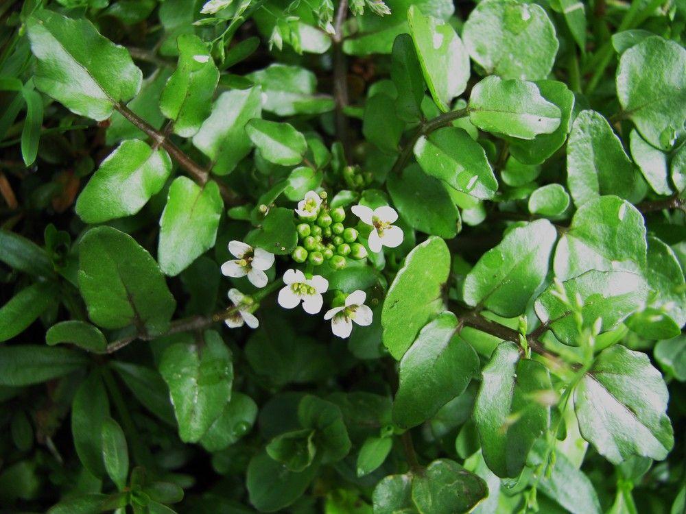 Plantes de balogna en corse plantes consommables - Quelles sont les plantes que l on peut bouturer ...