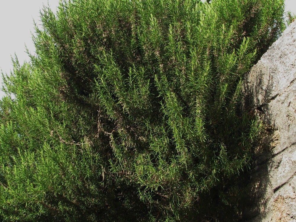 Fabuleux Plantes de Balogna en Corse - Plantes consommables NJ29