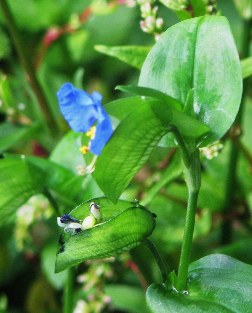 Plantes de balogna en corse for Plante 7 feuilles
