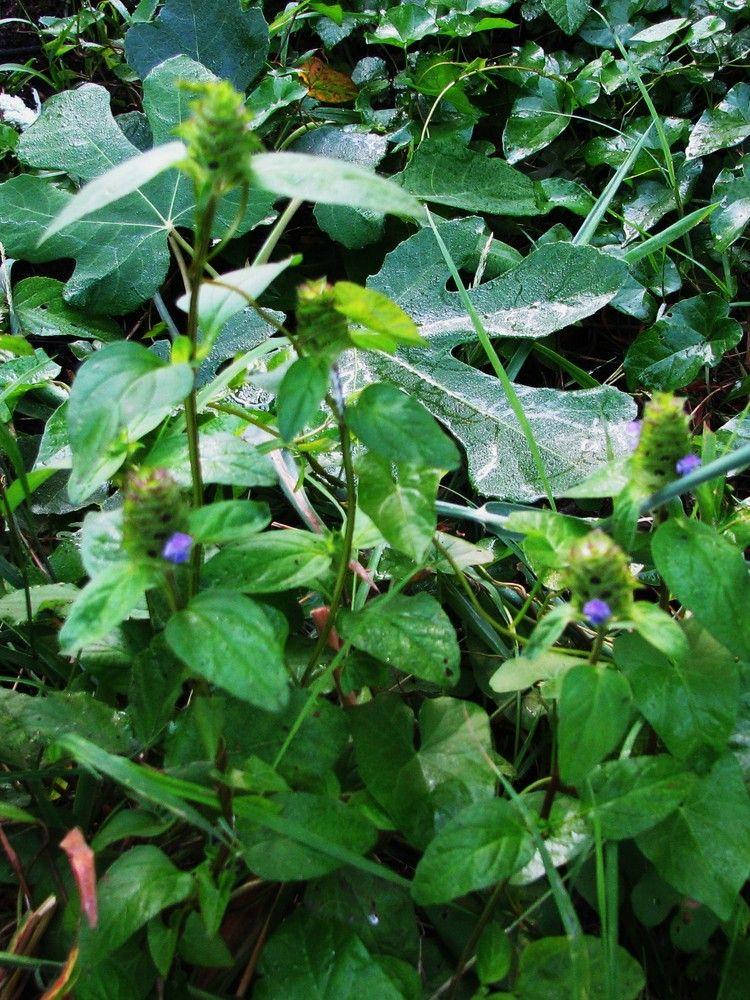 Plantes de balogna en corse for Plante 9 feuilles