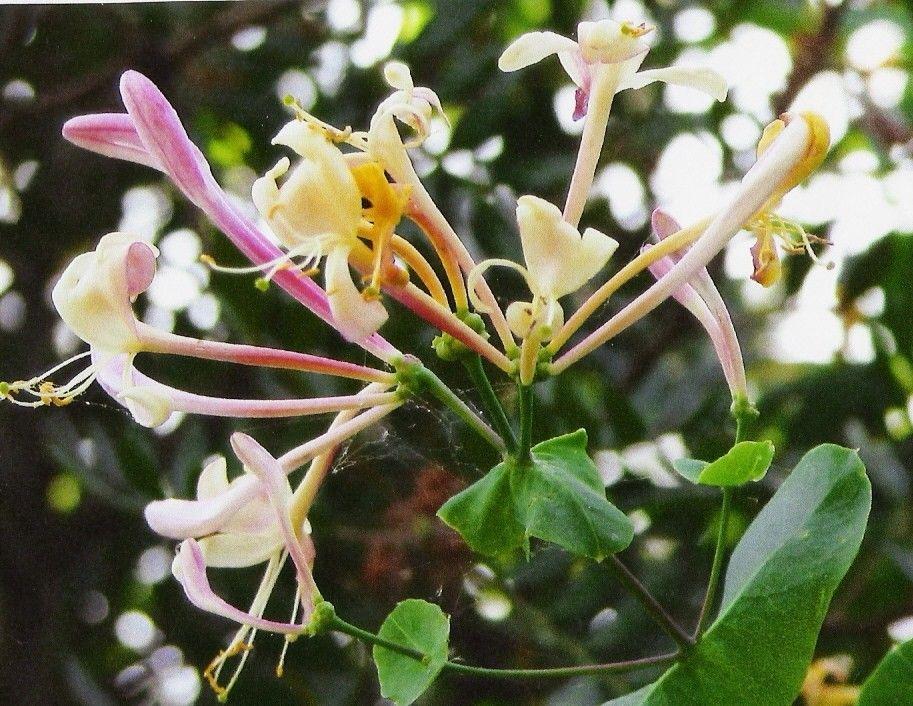 Plantes de balogna en corse mois de juin for Plante 7 feuilles