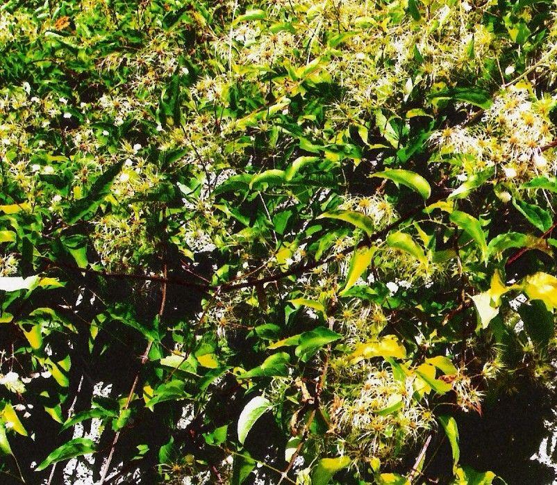 Plantes de balogna en corse mois de juin for Plante 7 folioles