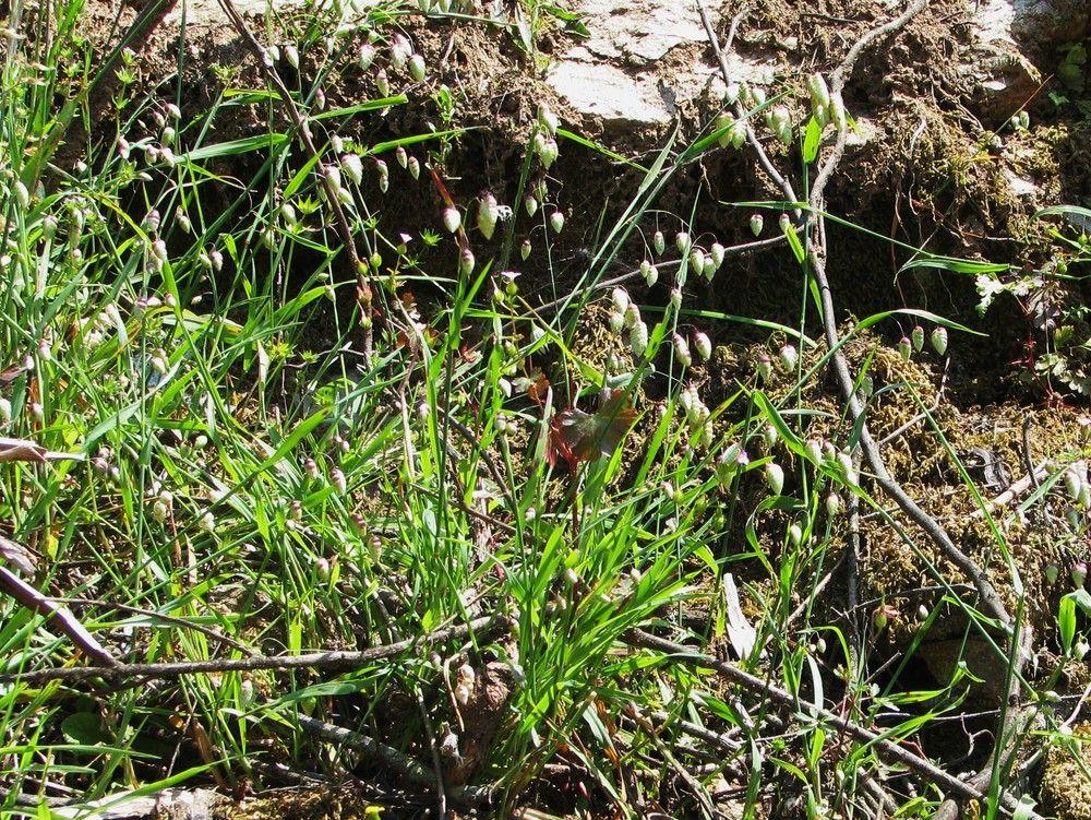Plantes de balogna en corse mois de mai for Plante 7 folioles